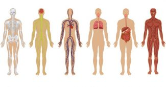 corpo-humano-2